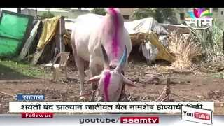 Repeat youtube video Bull lover Dhanaji Shinde