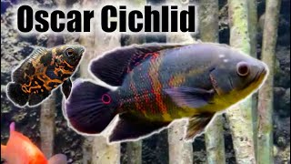 Oscar Cichlid | Care Guide & Species Profile