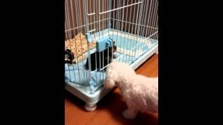 ミックス犬ダップー3歳とヨークシャーテリア2ヶ月 【激萌え動画】お腹...