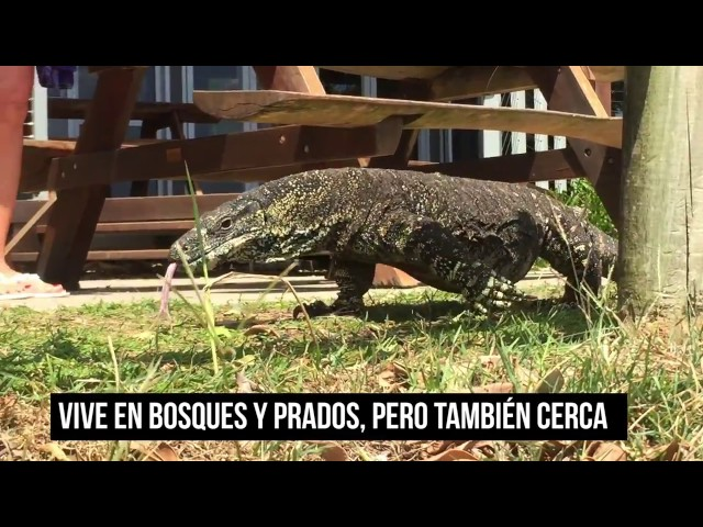 Goanna: lagarto pariente del Dragón de Komodo