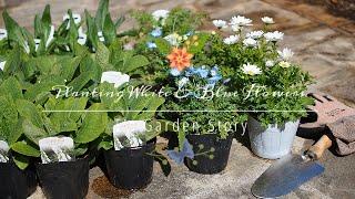 《3月上旬のガーデニング》白と青のお花でつくる春花壇*花苗レイアウト方法《T's Garden》