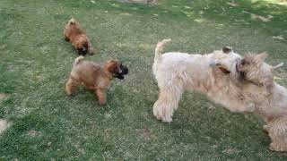 Wheaten Terrier Pups playing with their mom & aunt
