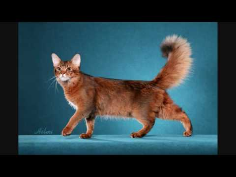 """The photographing of a fine Somali show cat """"Chase"""""""