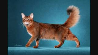 "The photographing of a fine Somali show cat ""Chase"" Thumbnail"