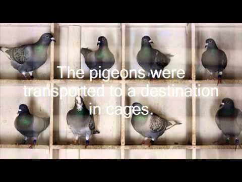 Pigeon Post na13