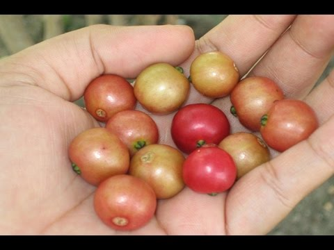 HEALTH BENEFITS OF ARATILES FRUIT YOU MIGHT NOT KNOW!