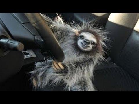 Videos de divertidos de osos perezosos s per graciosos 2016 para morirse de la risa youtube - Funny sloth pics ...