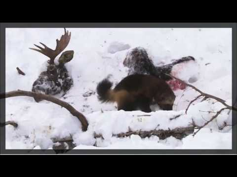 The Secretive World of Wolverine Family - Animals National Geographic Documentary