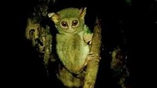 Koboldmaki (Tarsiidae) - Tarsius, Tarsier, Spökdjur - Tangkoko Nat. Res. in N. Sulawesi - Indonesia