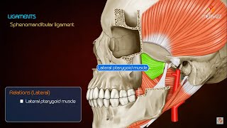 Anatomy of TMJ ( Temporomandibular joint ) - Anatomy medical animations