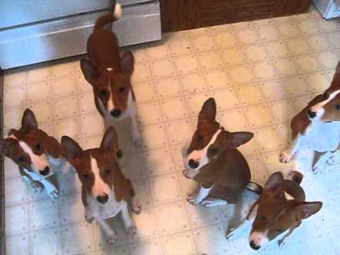 Basenji Puppies Sitting