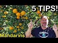 5 Tips How to Grow a TON of Mandarins on Just One Tree Organically