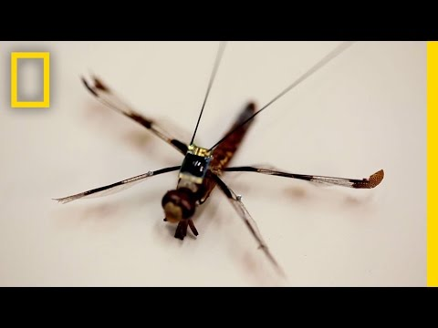 Tiny Backpacks Tap into Dragonflies' Brains | National Geographic