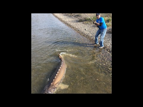 GIANT Columbia River Sturgeon Comes Out of the Water!!