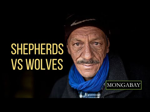 Shepherds vs Wolves: How one researcher is changing perspectives about Morocco's African golden wolf