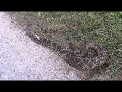 Eastern Diamondback Rattlesnake killed on road.
