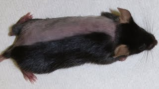 Blocking Enzymes in Hair Follicles Promotes Hair Growth