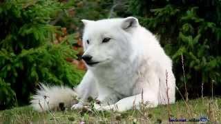 becixmat - Relax 1728 - Vlky - Wolves