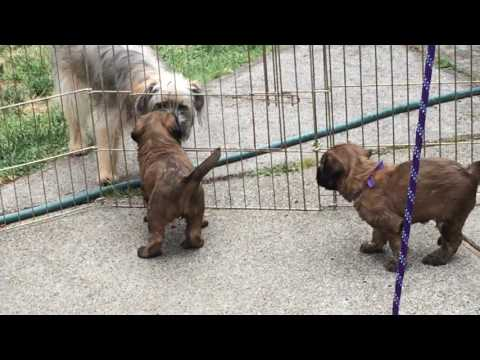 4 Week Old Briard Puppies Playing