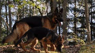 Интересные факты о собаке породы Немецкая овчарка