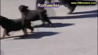 Rottweiler, Puppies, For, Sale, In, Birmingham, Alabama, Al, Montgomery, Tuscaloosa, Jefferson, Shel
