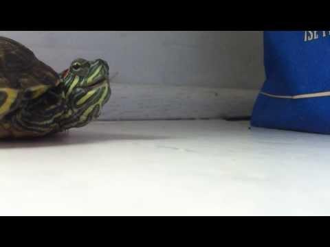 Süßes Video: Die niesende Schildkröte