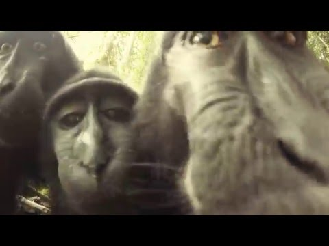 Wild Black Monkeys in Tangkoko National Parc - North Sulawesi - Explore Indonesia -