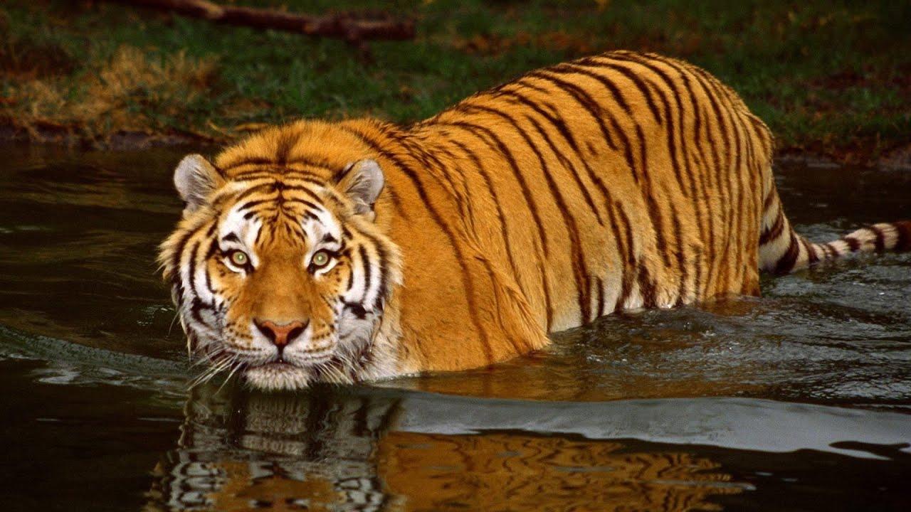 Bangol Tiger