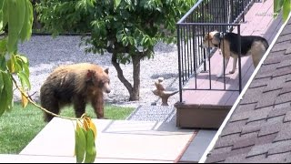 Black bear gets into an argument with a dog after breaking into a home in Bradbury, California.