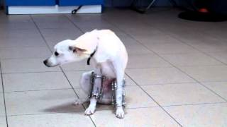 Перелом обоих предплечий у собаки