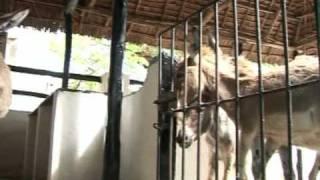 Donkeys a draw for Kenya