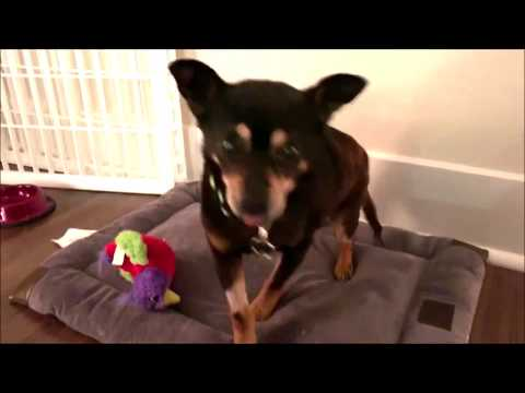Gingham, a male Miniature Pinscher / Chihuahua mix at Muttville-adopted!