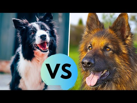German Shepherd vs Border Collie Comparsion - Choosing a Puppy
