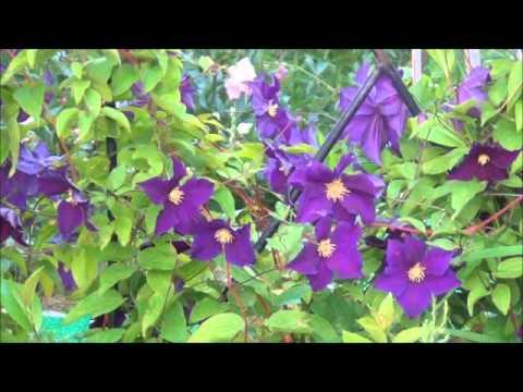 Цветы розы, клематисы, гортензия, петунии