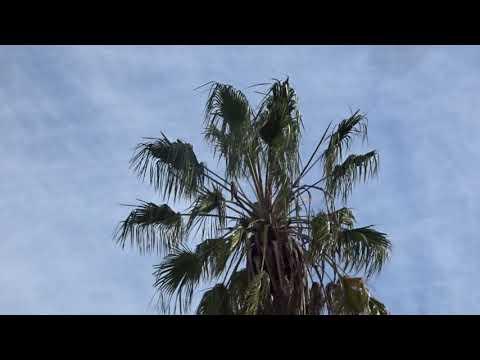 LOOK AT THE HAWK IN THE PALM TREE VENICE BEACH CALIF NOV 27, 2018 thumbnail
