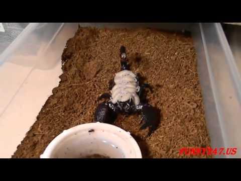 scorpion-giving-birth-very-nice-☆-animals-giving-birth