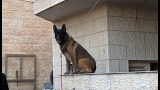 افخم تدريبات كلب المالينو البلجيكي مع جمال العمواسي