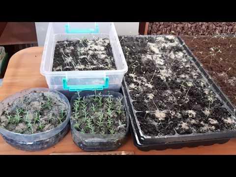 Вопрос: Какая страна славится выращивание лаванды?