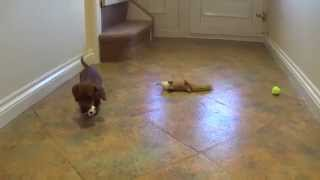 Dachshund Puppies Playing (cute!) - Dogs And Puppies