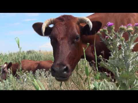 Коровы пасутся на