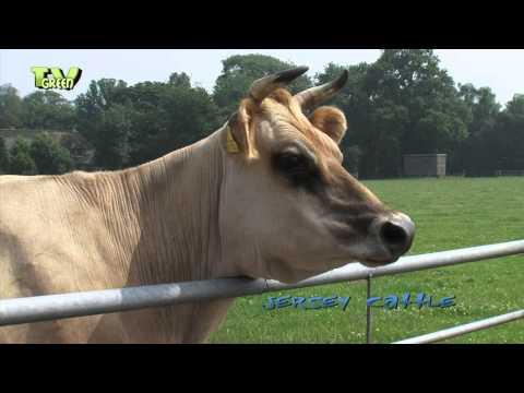 Livestock: Jersey Cattle #05