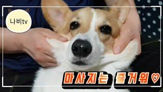 마사지받는  웰시코기 강아지  a massaged  p…