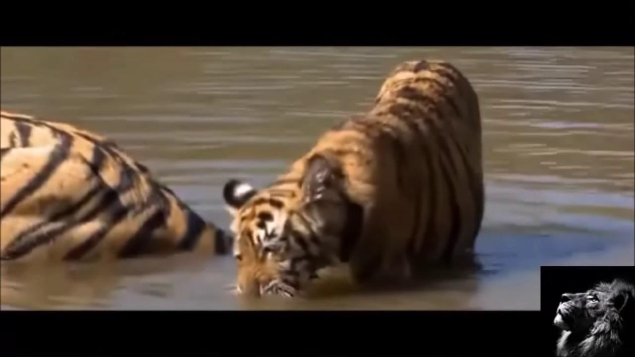 Download El tigre: Panthera tigris