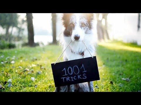 1001 (dog) tricks project / projet 1001 tricks
