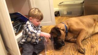 Bull Mastiff Being Fed Cereal By Toddler