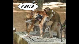 Monkeys play with dog (Dog VS Monkeys)