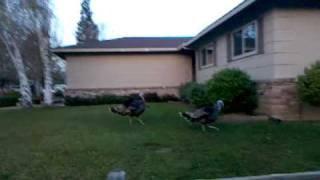 Wild Turkeys in Citrus Heights, CA