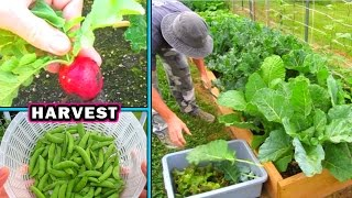 Container Garden Harvest & Update #2 vegetable gardening plant raw food