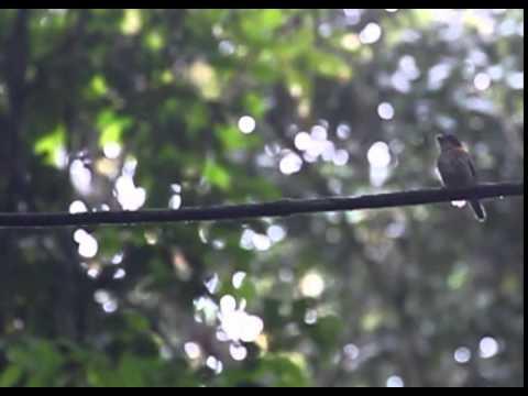 Rufous-sided Broadbill display