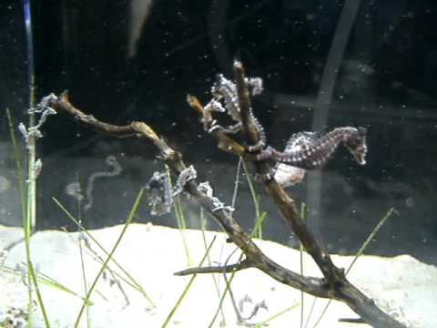Dwarf Seahorse Herd chilling and snacking on shrimp